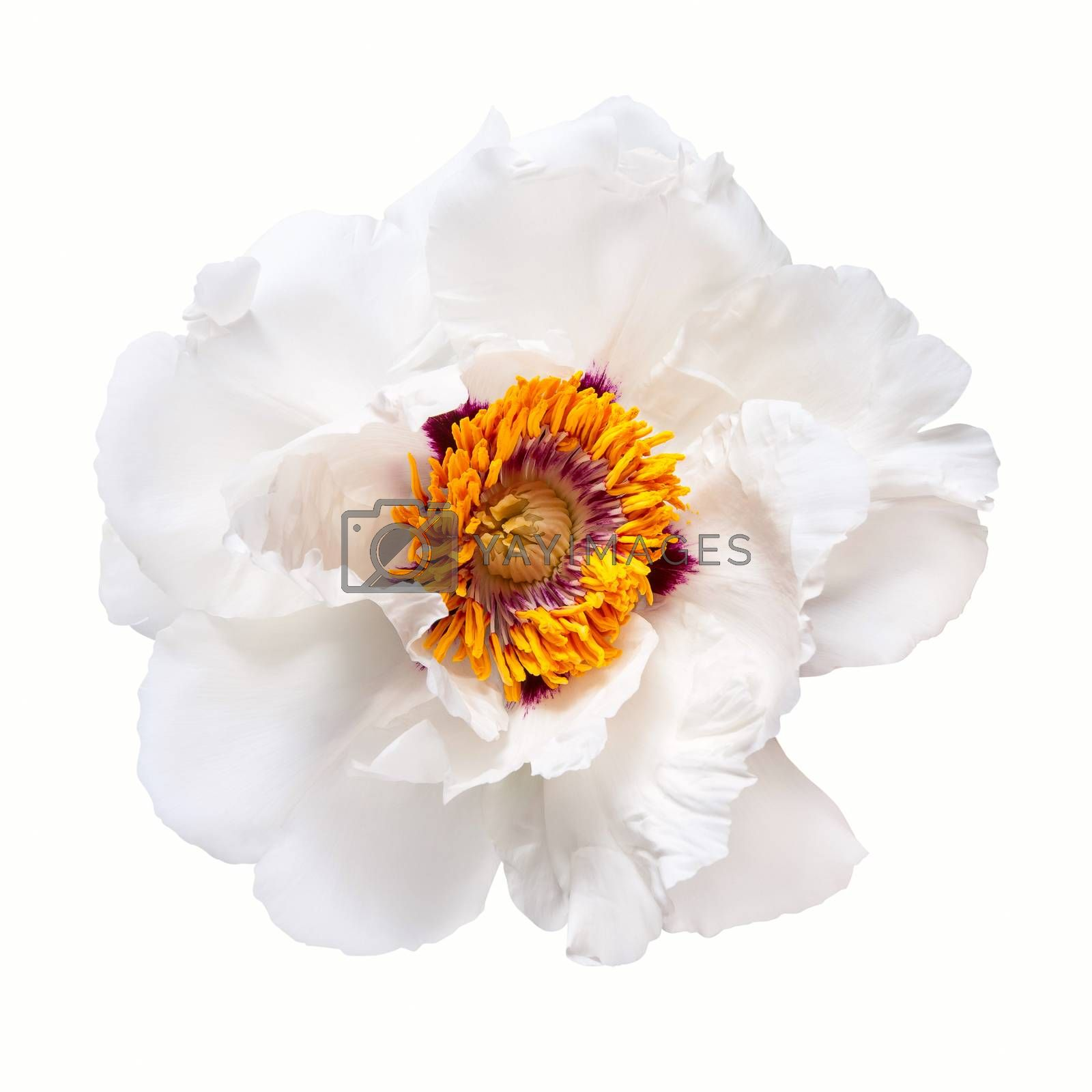 White peony flower isolated on white background, spa aroma