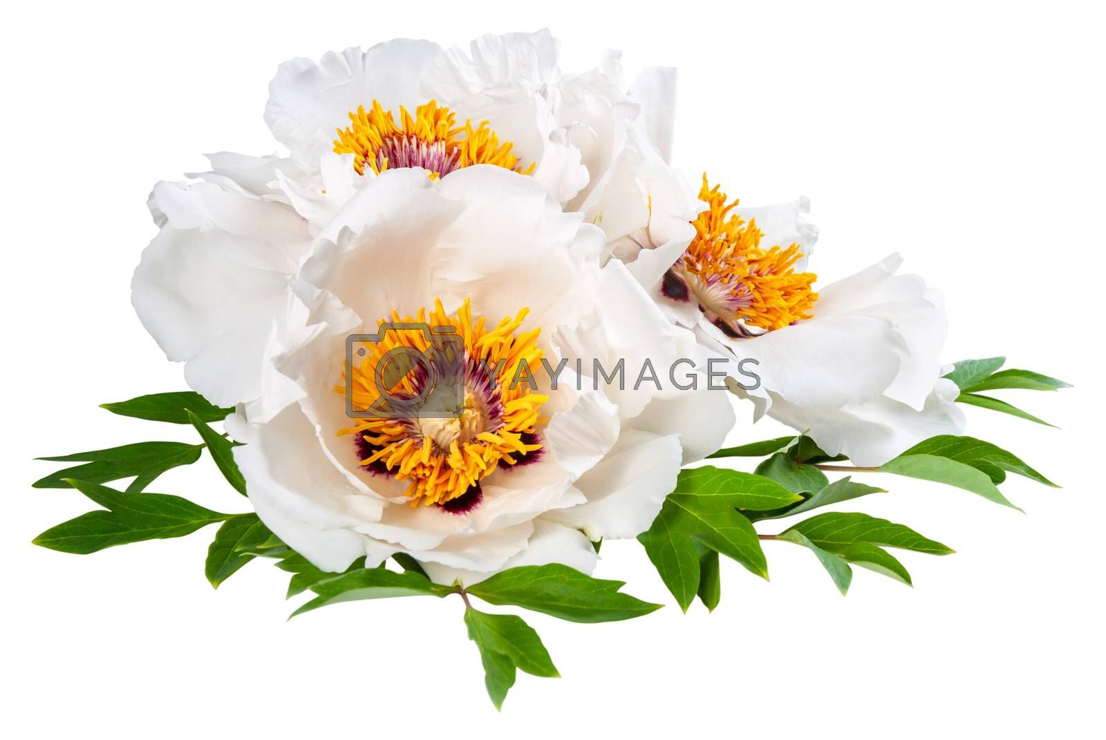 Three peonies flower isolated on white background, card design