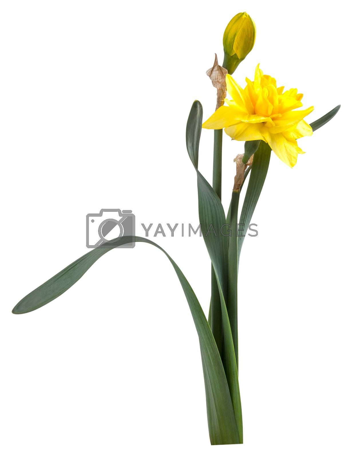 Beautiful narcissus flower with green leaves isolated on white background, for design