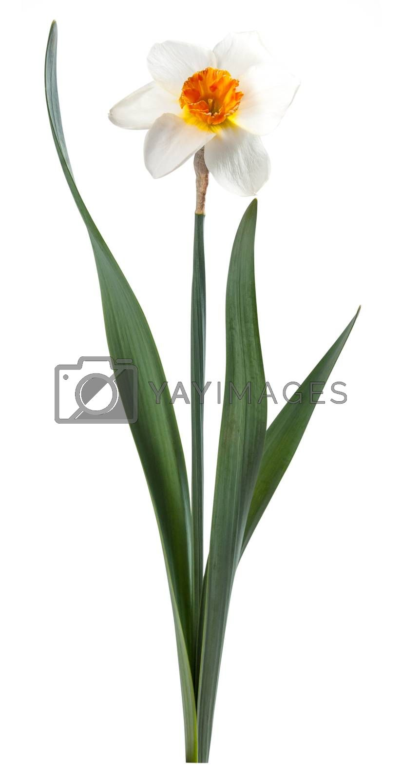 Narcissus flower isolated on white background, for design