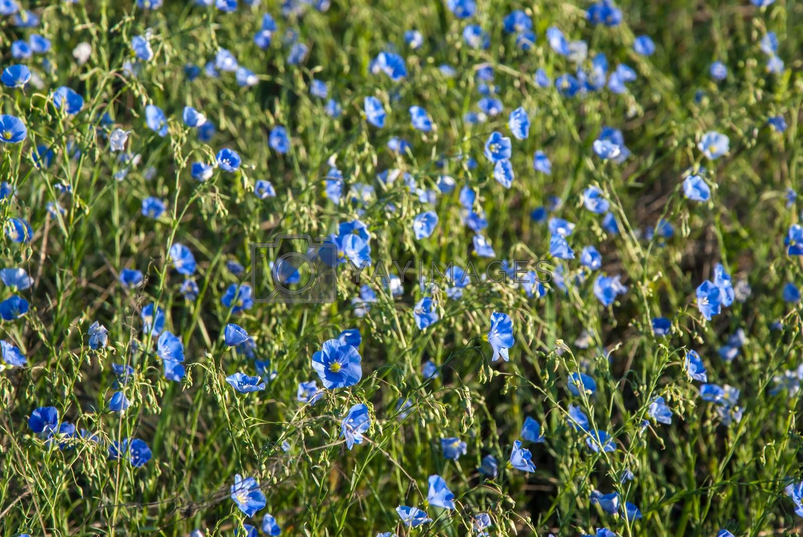 Landscape with meadow of blue flax flowers, spring sunny day