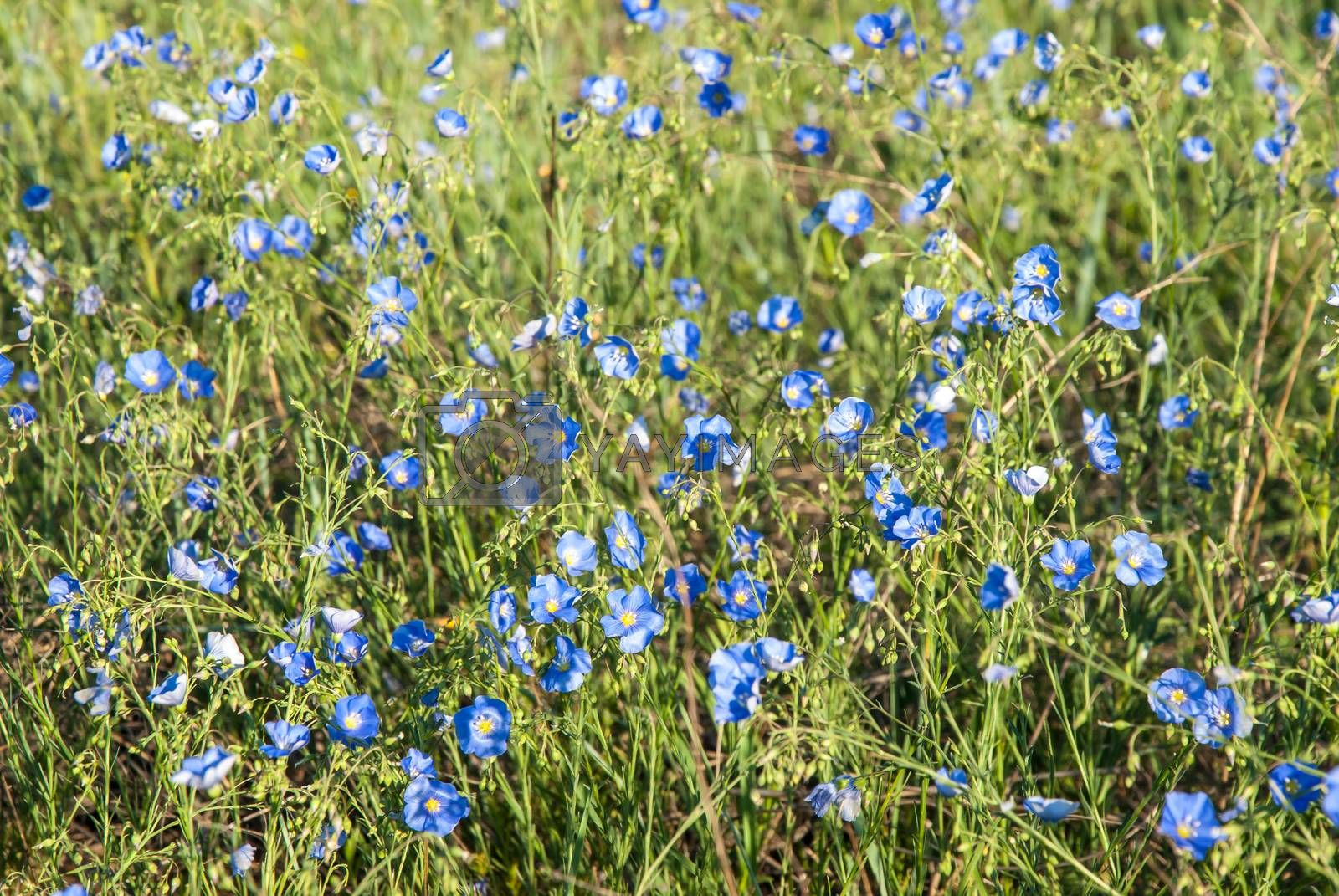 Meadow with blue flax flowers, spring sunny day
