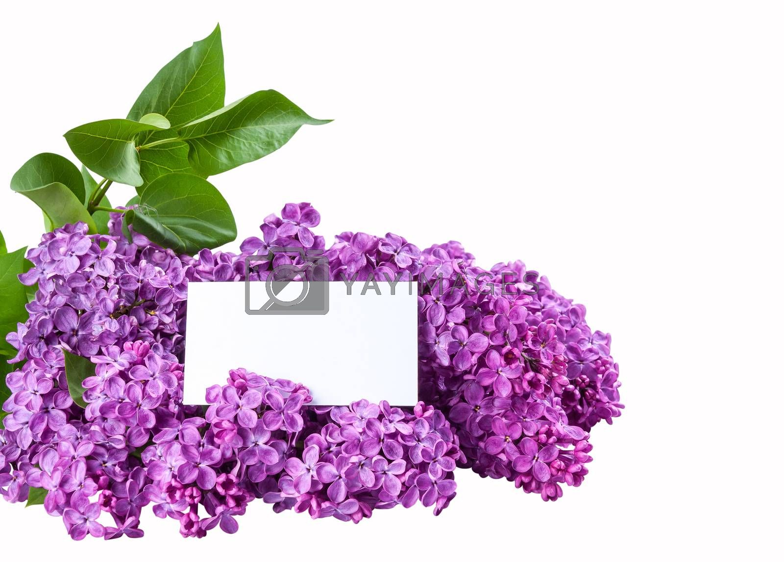 Branch of purple lilac isolated on a white backround with place for your text, for design