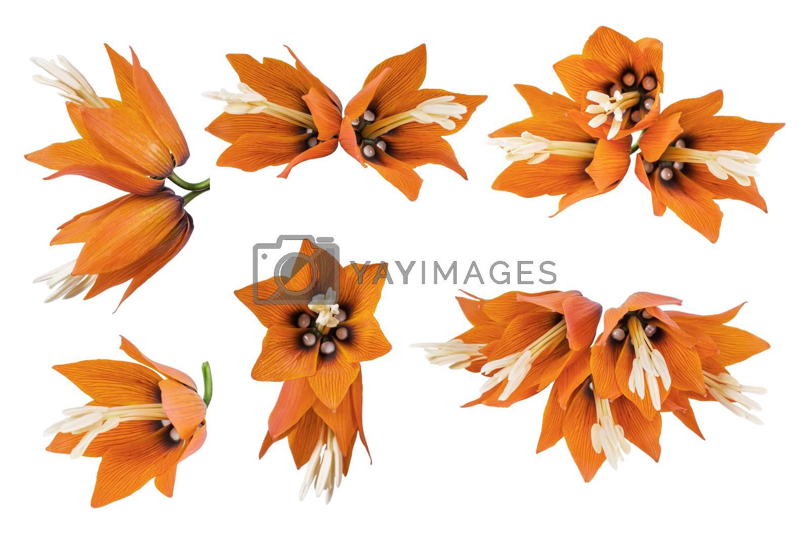 Set orange crown imperial flowers (Fritillaria imperialis) isolated on white background