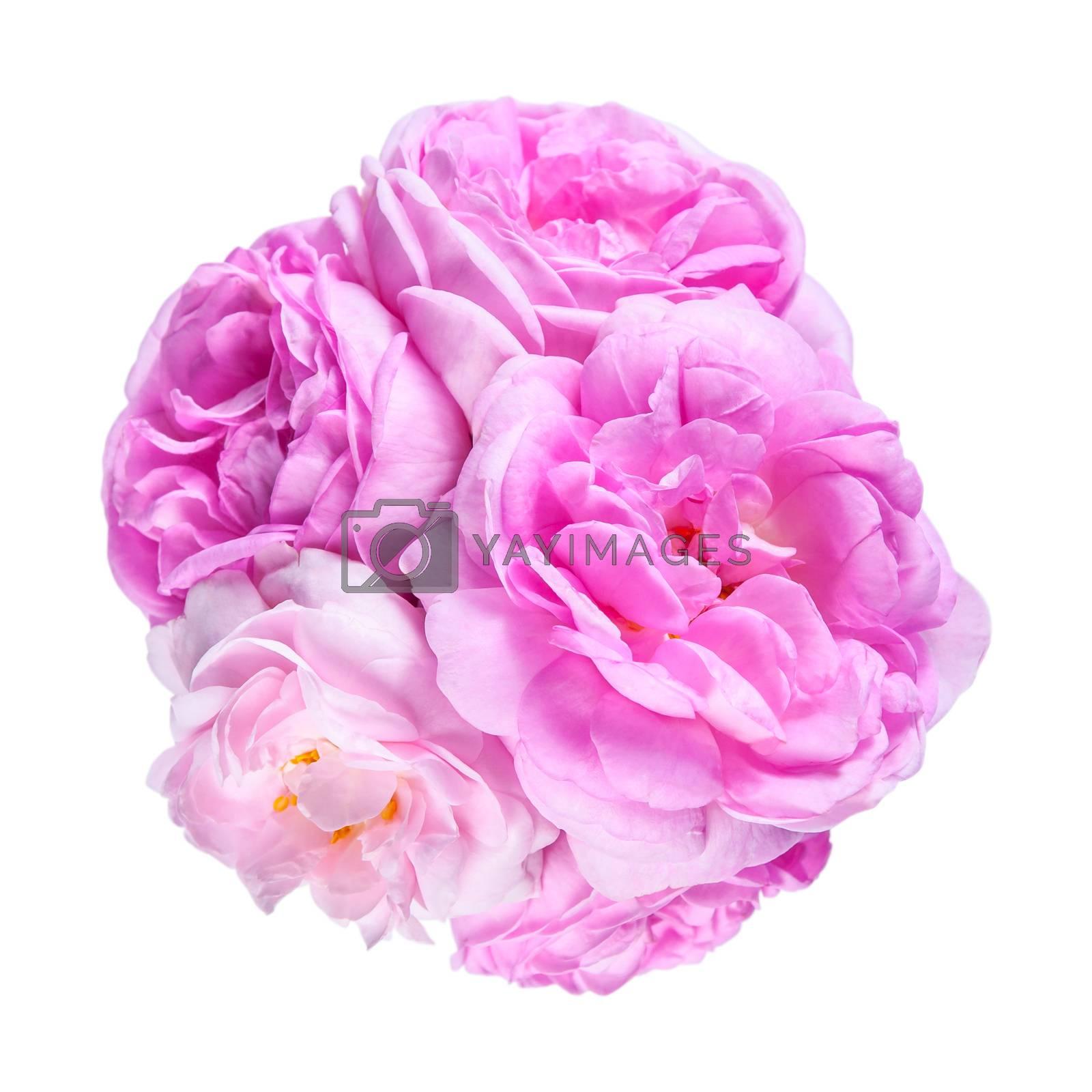Tea rose pink flowers isolated on white backround