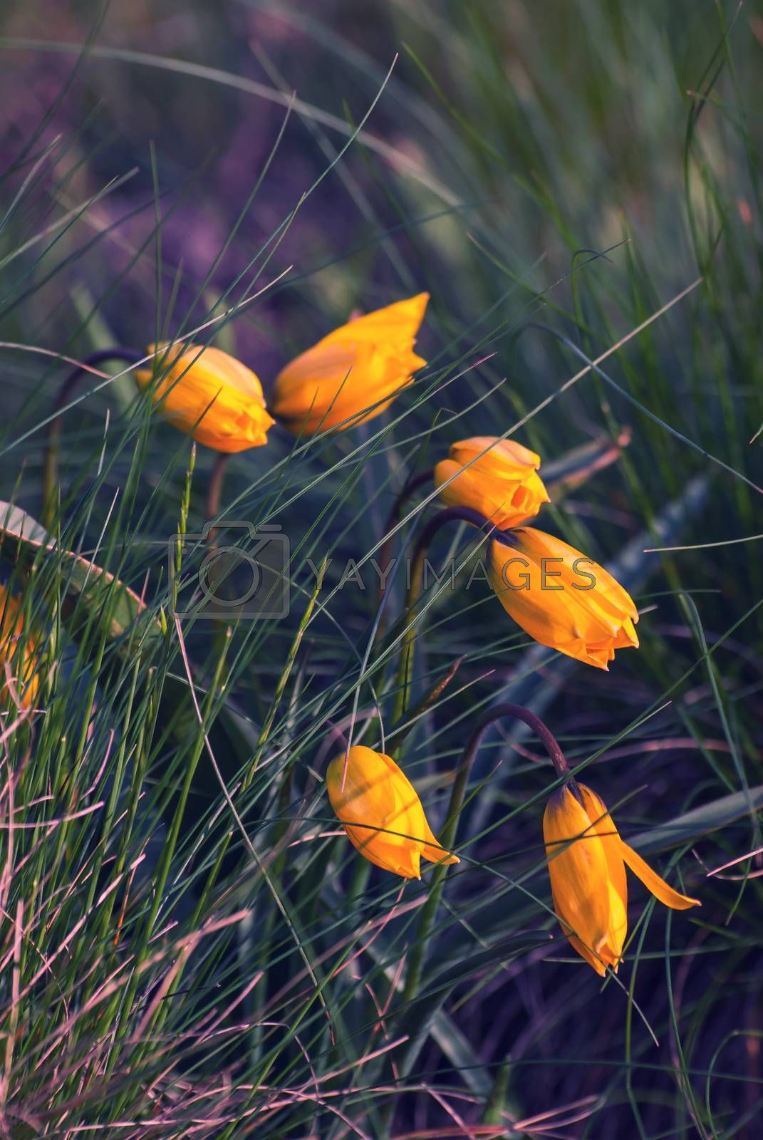 Wild yellow tulips flower in grass on meadow, vintage