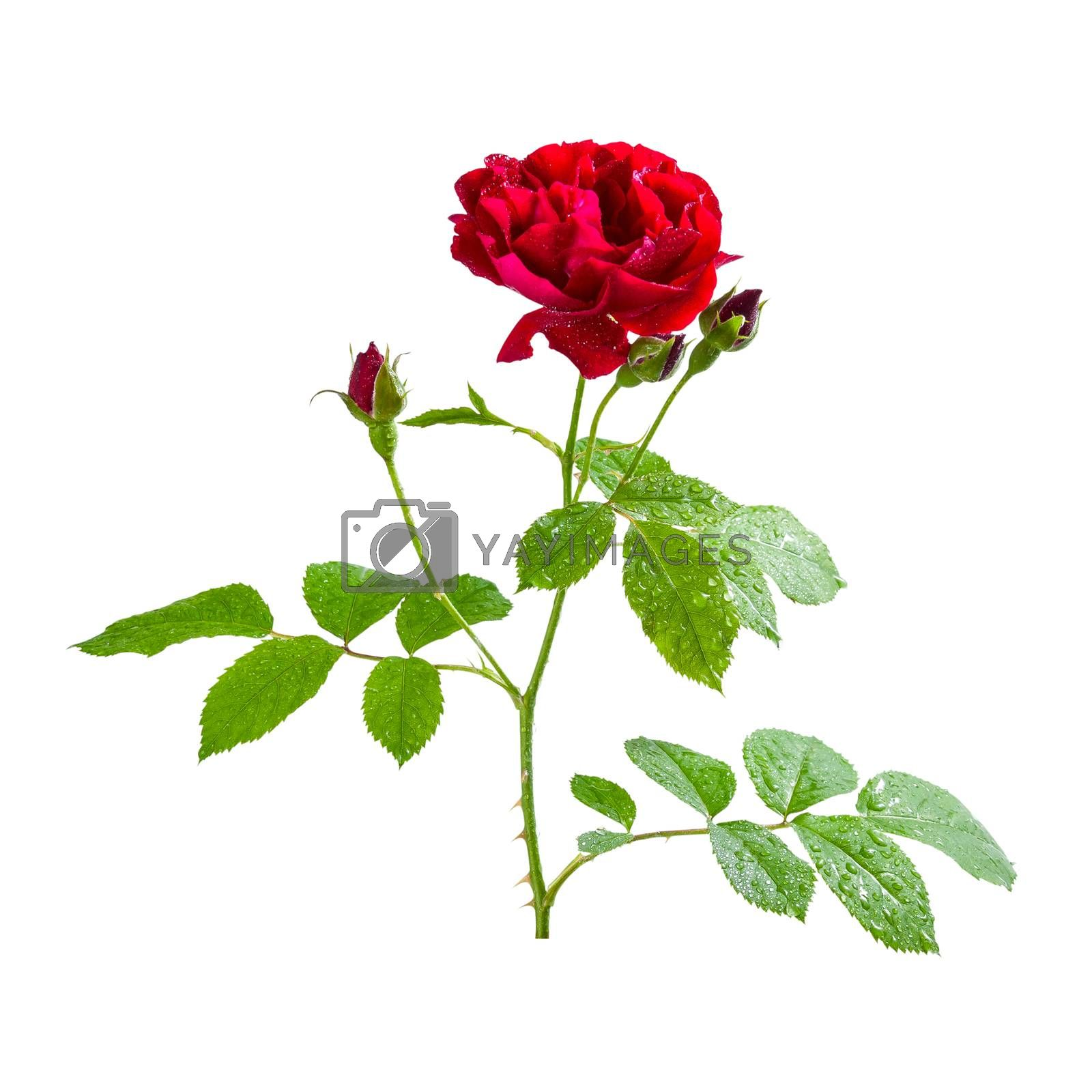 Red rose flowers with bud on branch, isolated on white backround