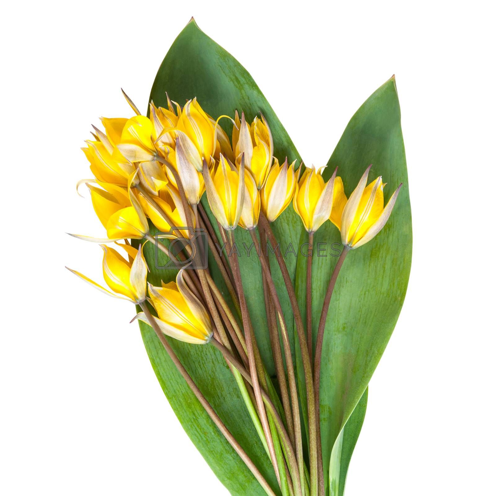 Wild yellow tulip flower with green leaves isolated on a white background, for design