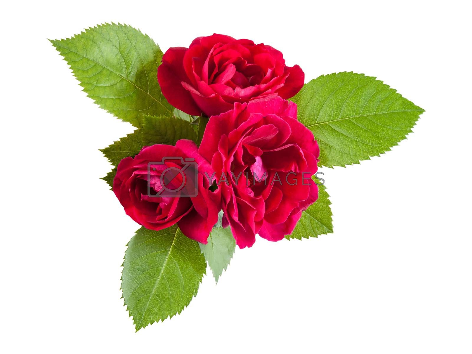 Red rose flowers with leaves, isolated on white backround