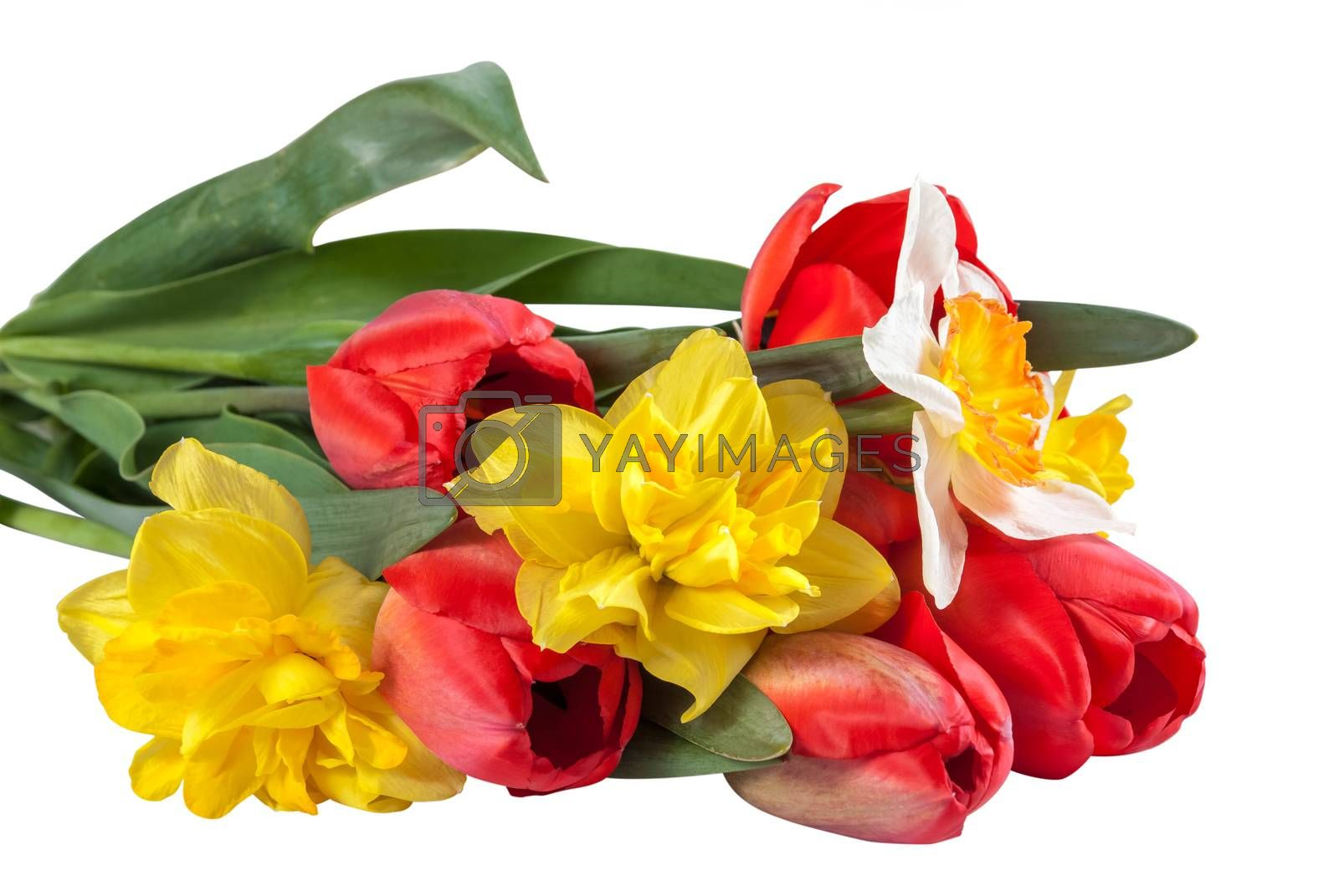 Bouquet of beautiful yellow narcissus and red tulips flower isolated on white background