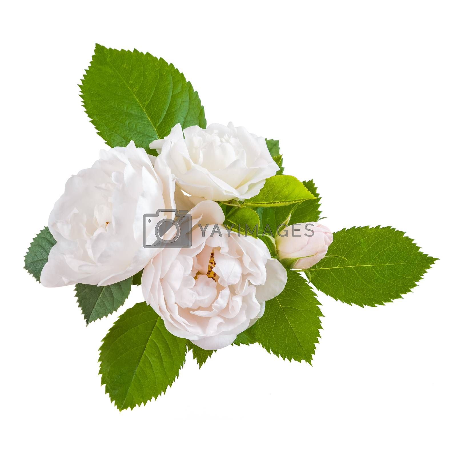 Rose flowers with leaves isolated on white backround