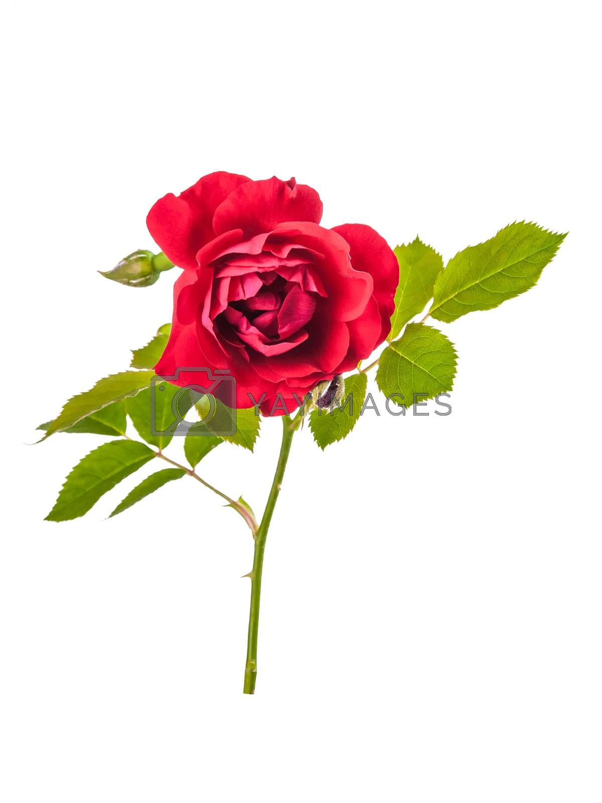 Rose red flowers with leaves isolated on white backround