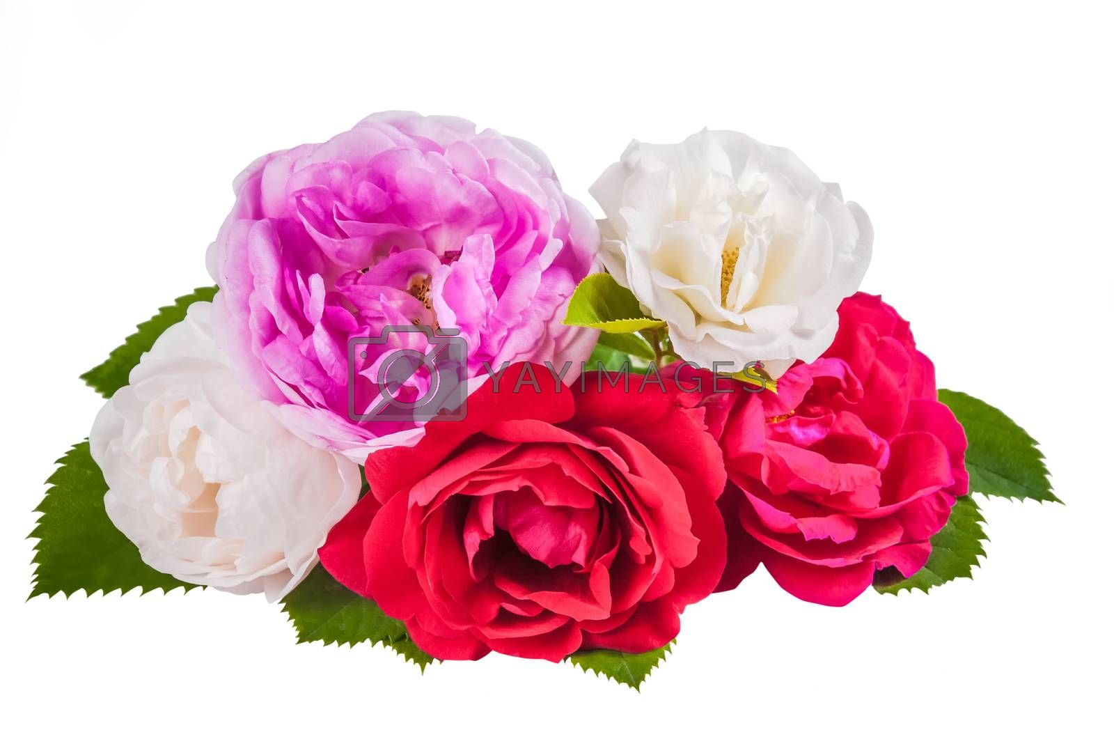 Rose colorful flowers with leaves isolated on white backround
