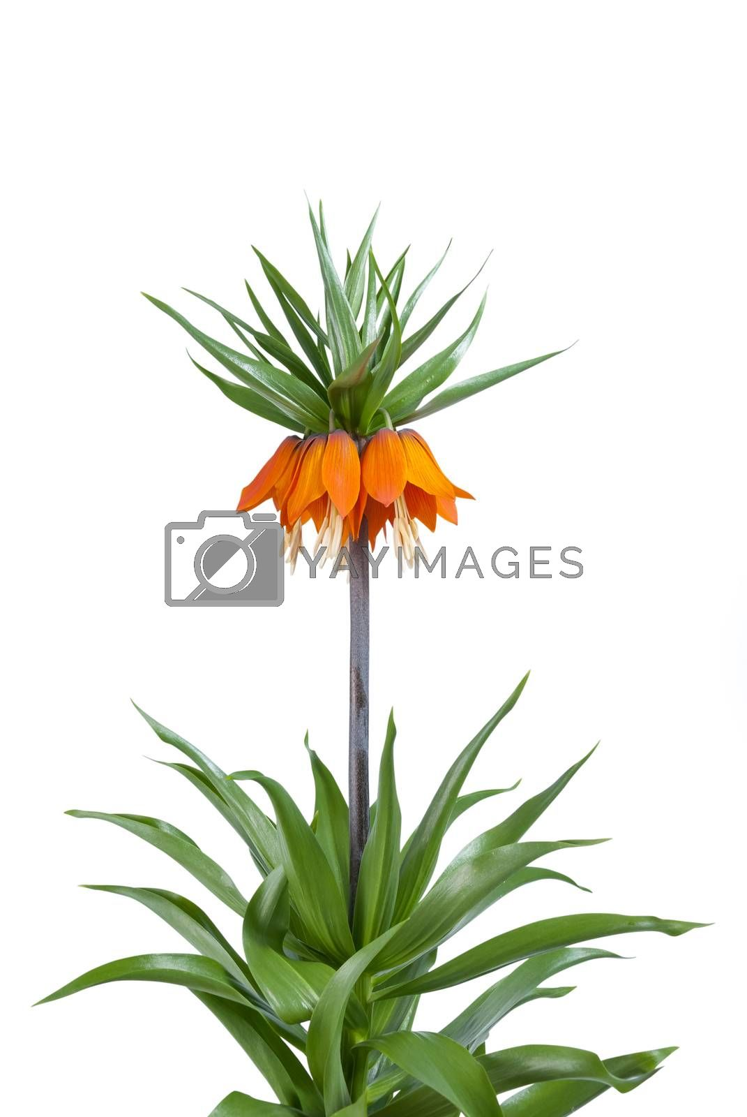 Bush of imperial flowers (Fritillaria imperialis) isolated on white background