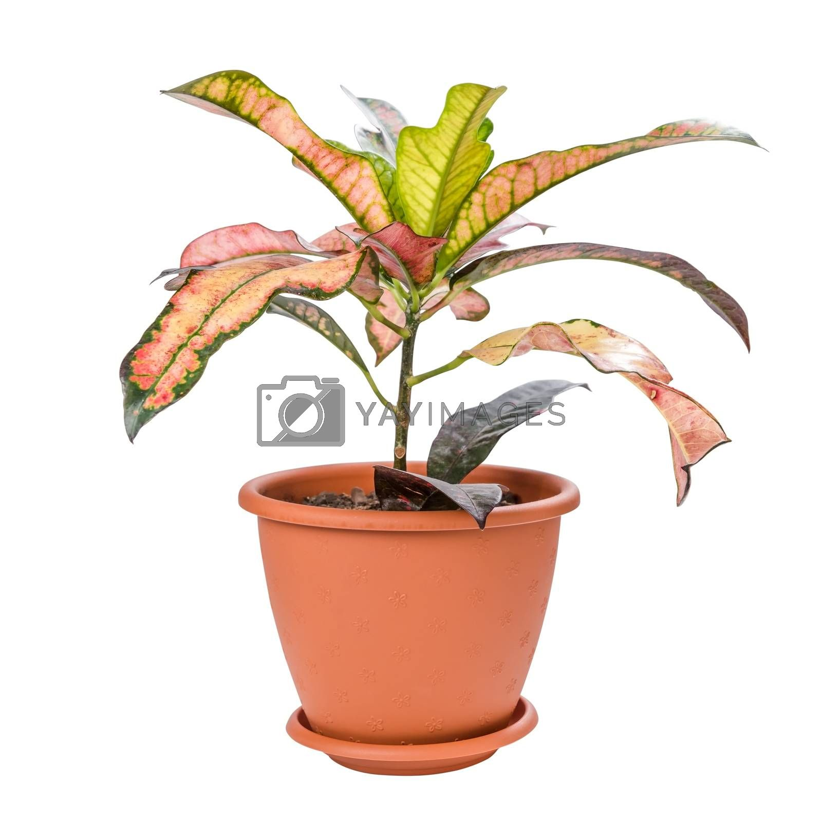 Croton in pot isolated on white background