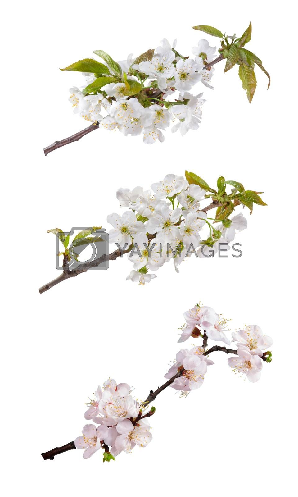 Branch with flowers of an apricot and cherry isolated on white background