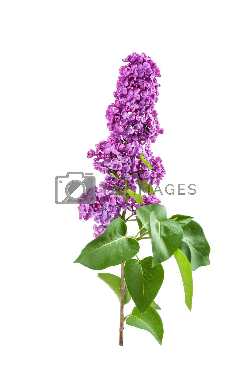 Purple lilac isolated on a white backround