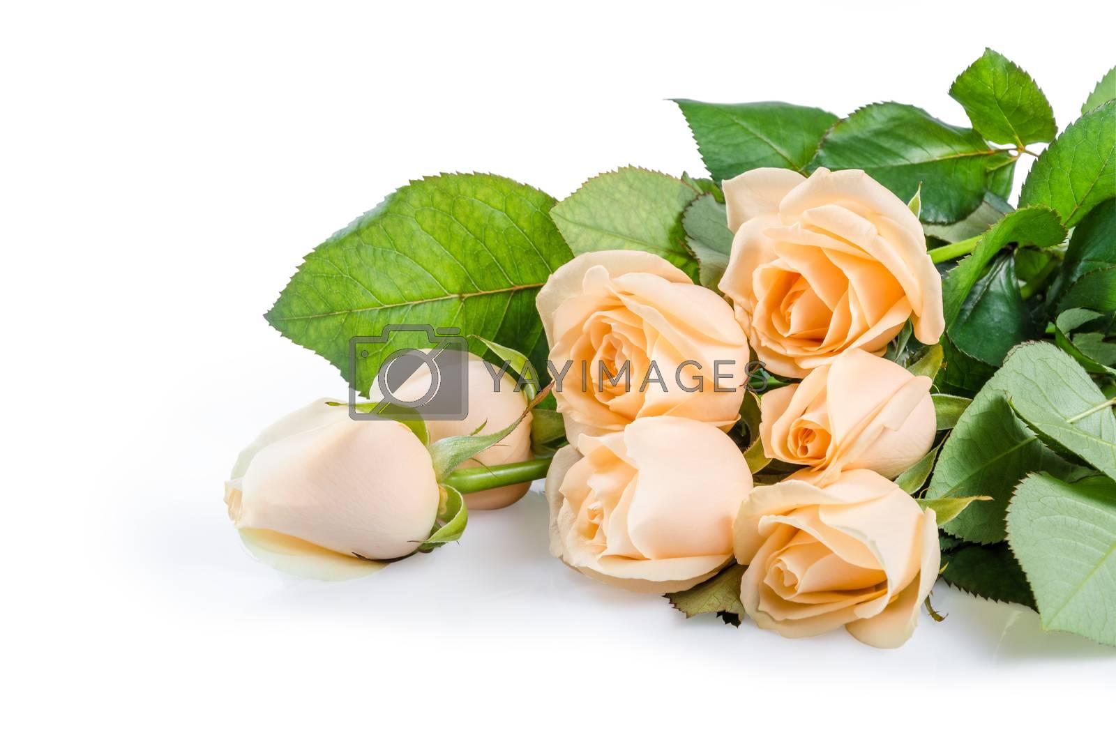 Beautiful cream rose flowers isolated on white background