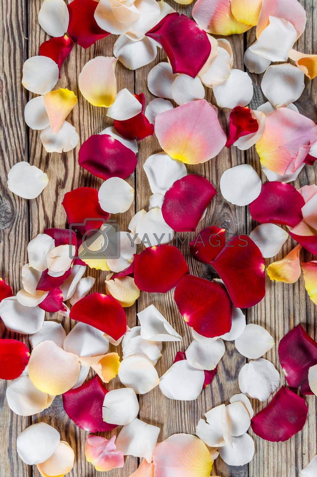 Red, white and pink rose flowers petals on rustic table