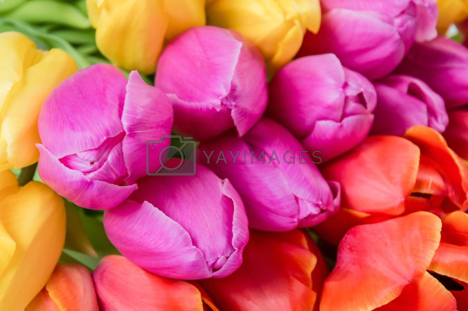 Many tulip flowers, selective focus