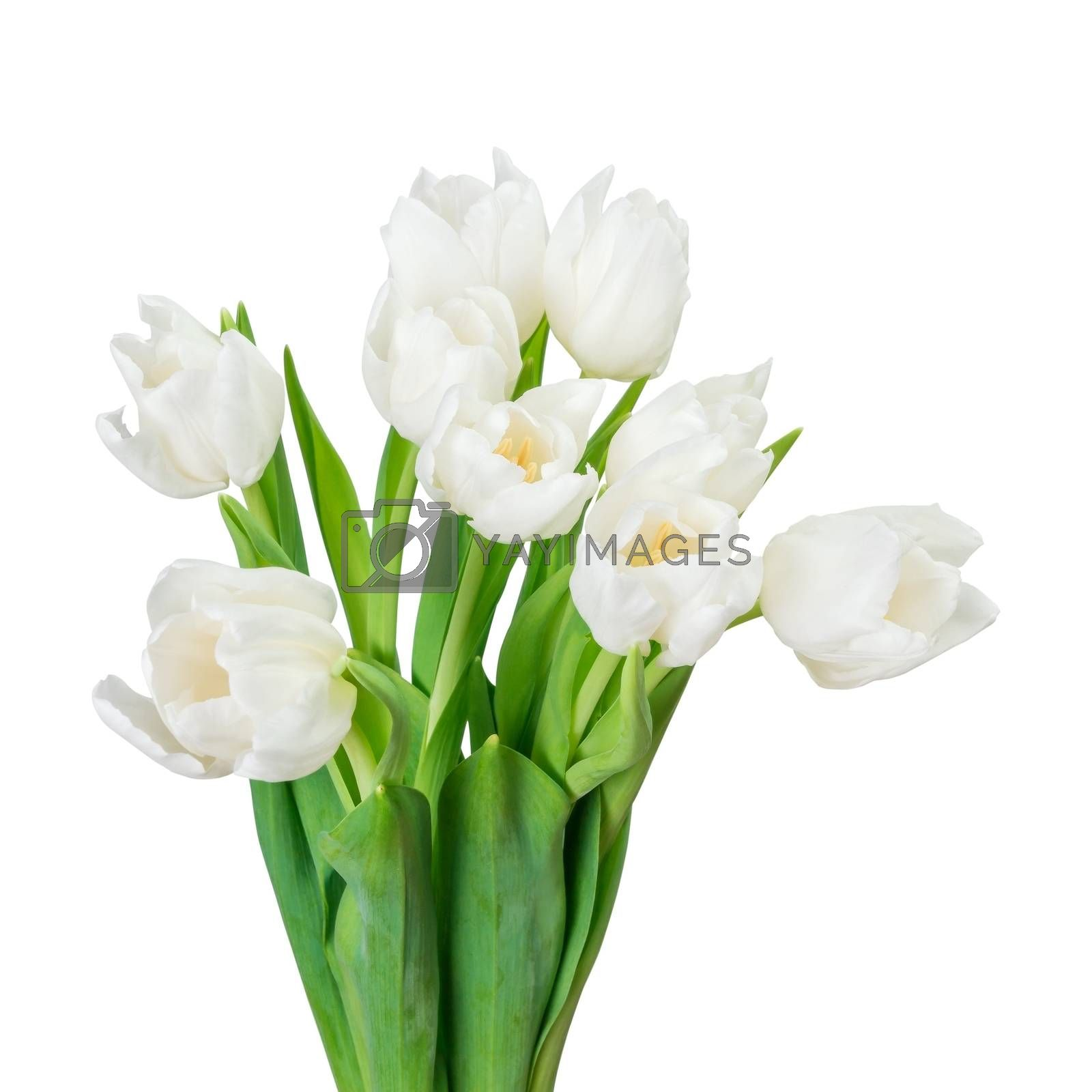 White tulip isolated