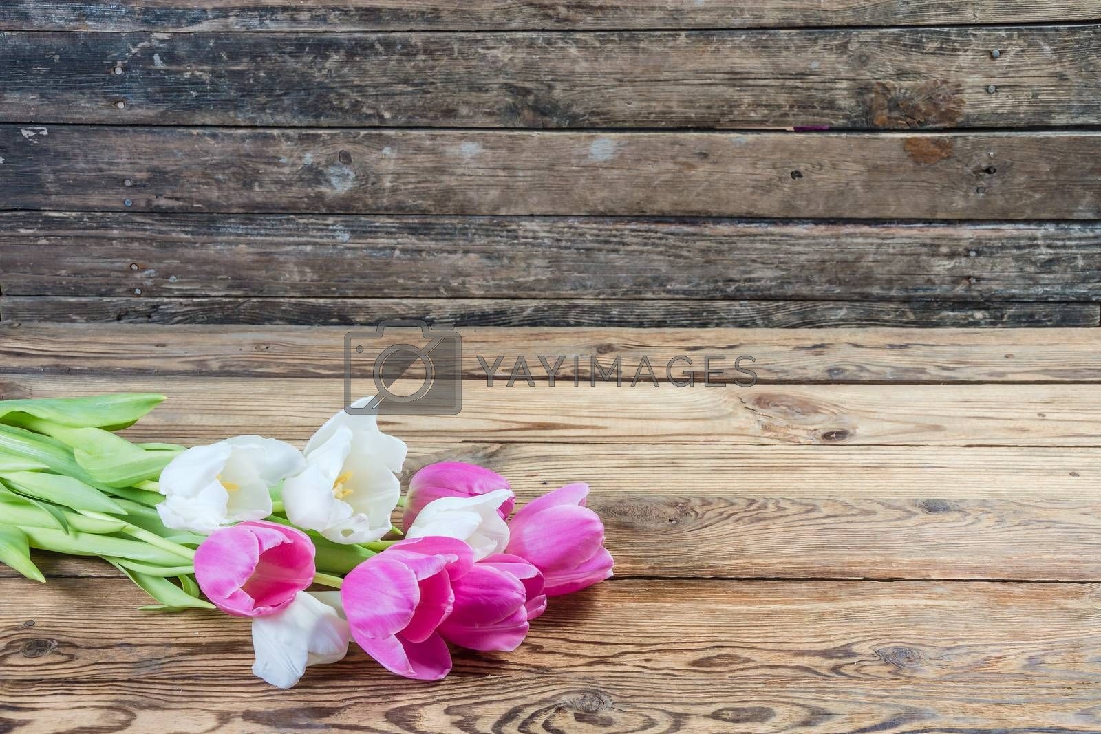 Pink and yellow tulip flowers on rustic wooden background