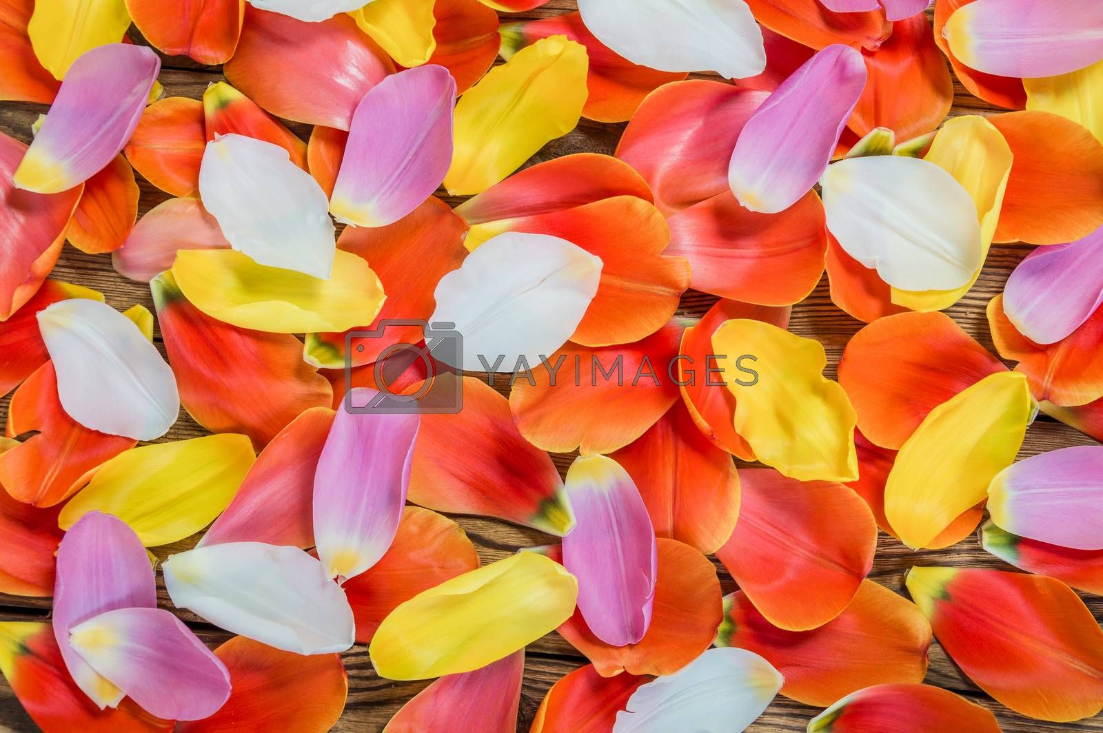 Flower petals of a tulip on rustic table