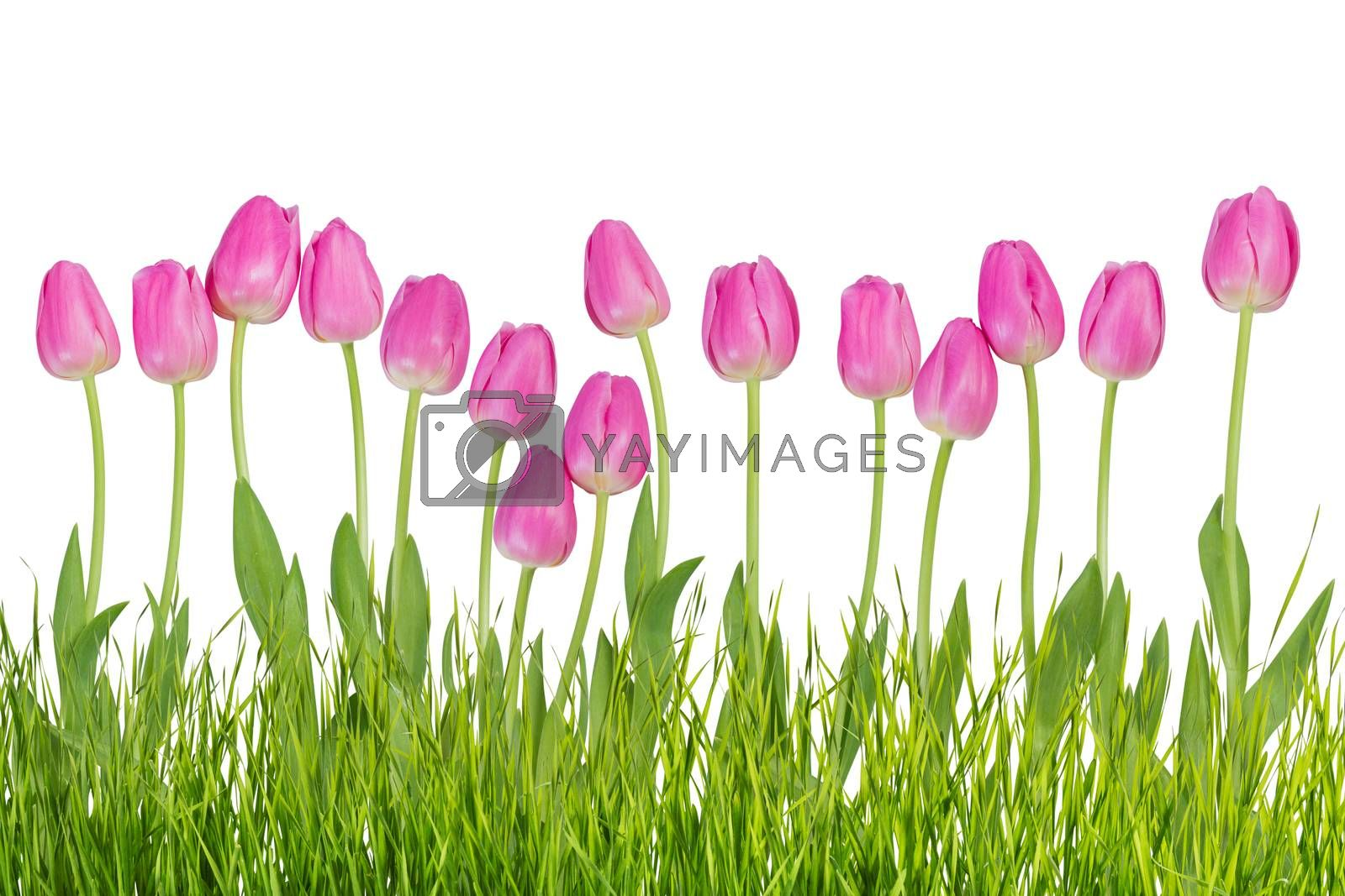 Pink tulip flowers with grass isolated on white background