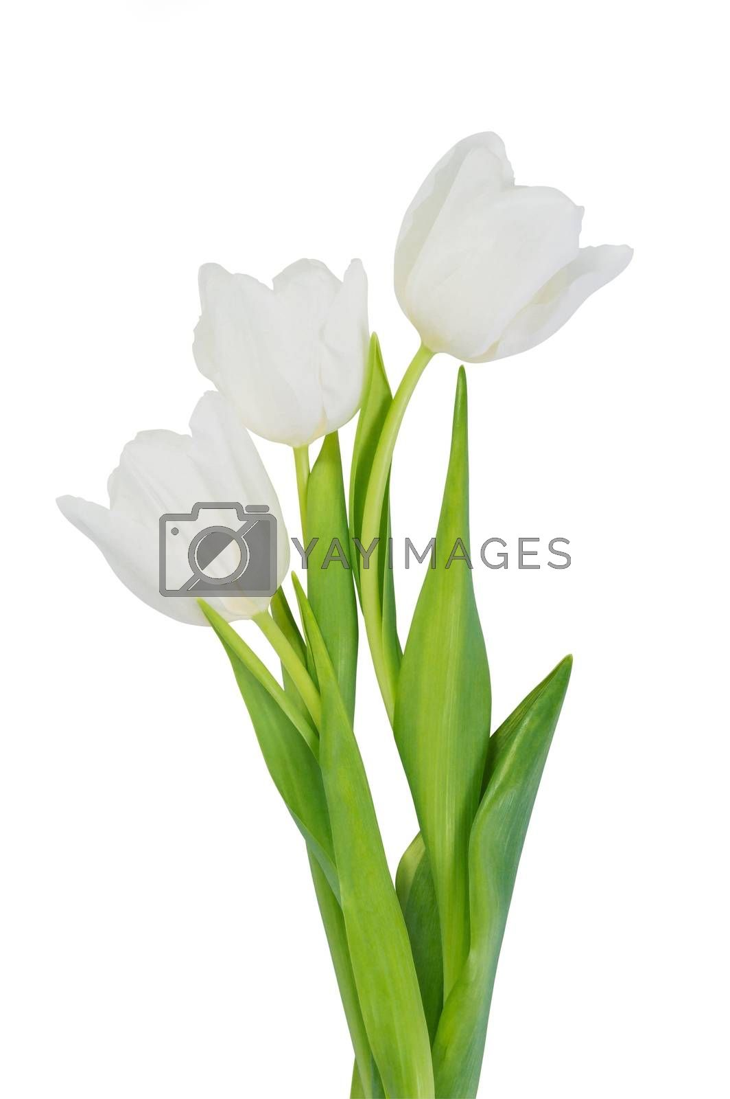 White tulip flowers isolated, clipping path