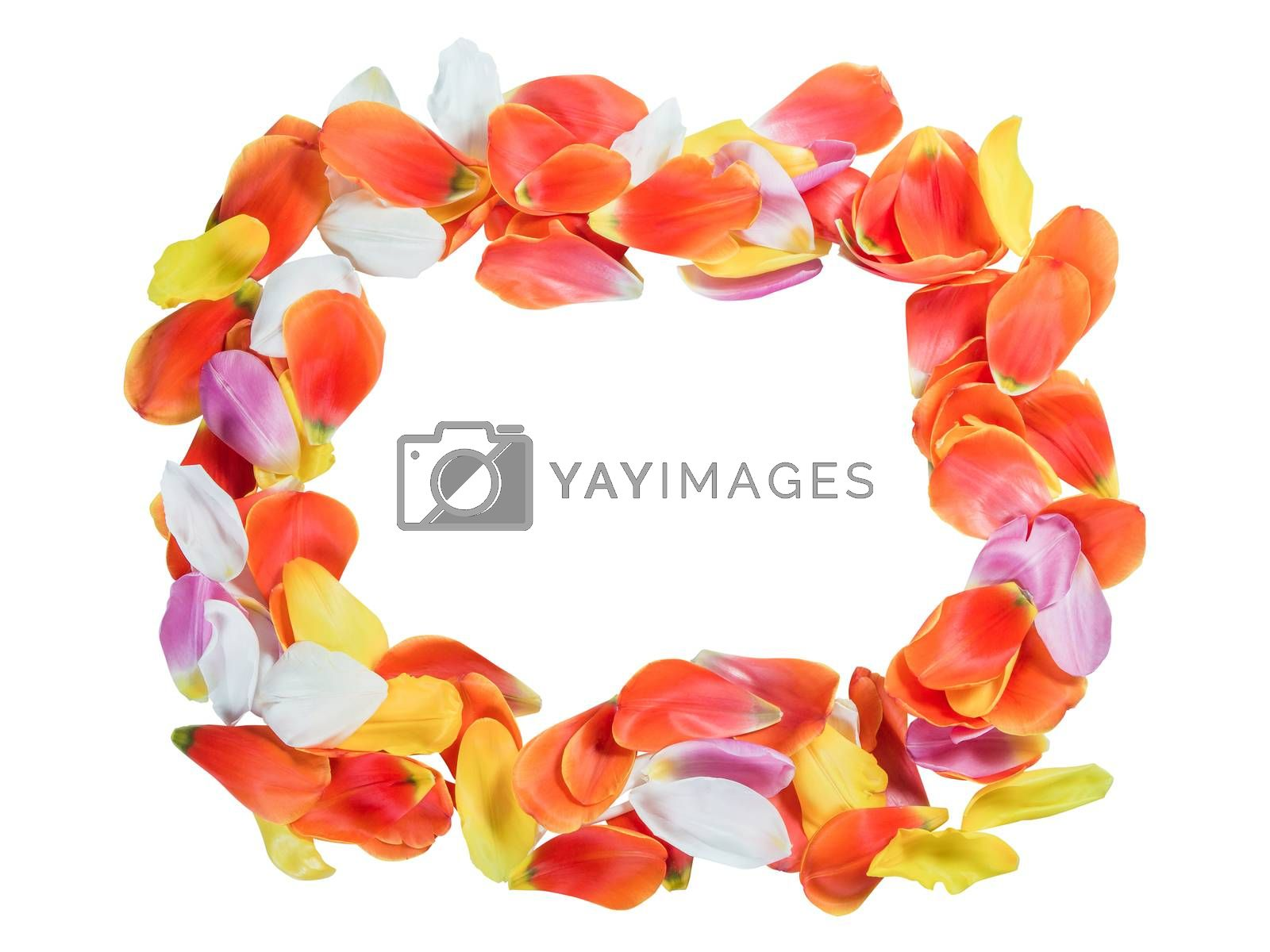 Frame from tulip petals isolated on white background