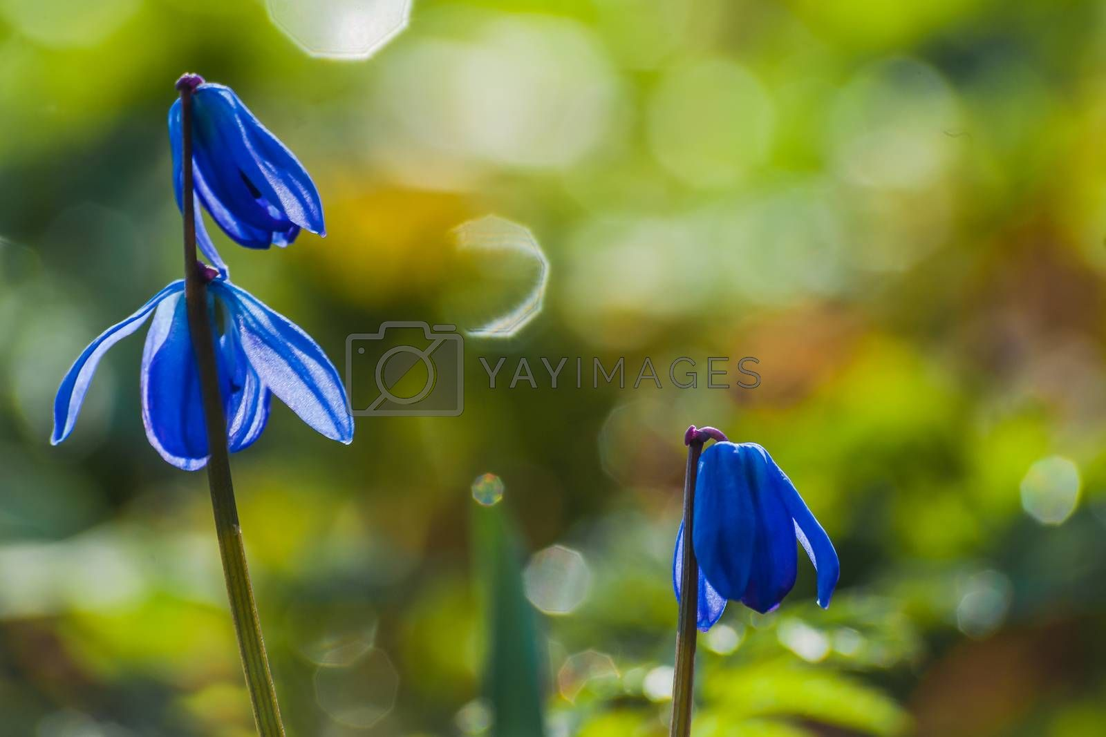 Scilla blue flowers closeup