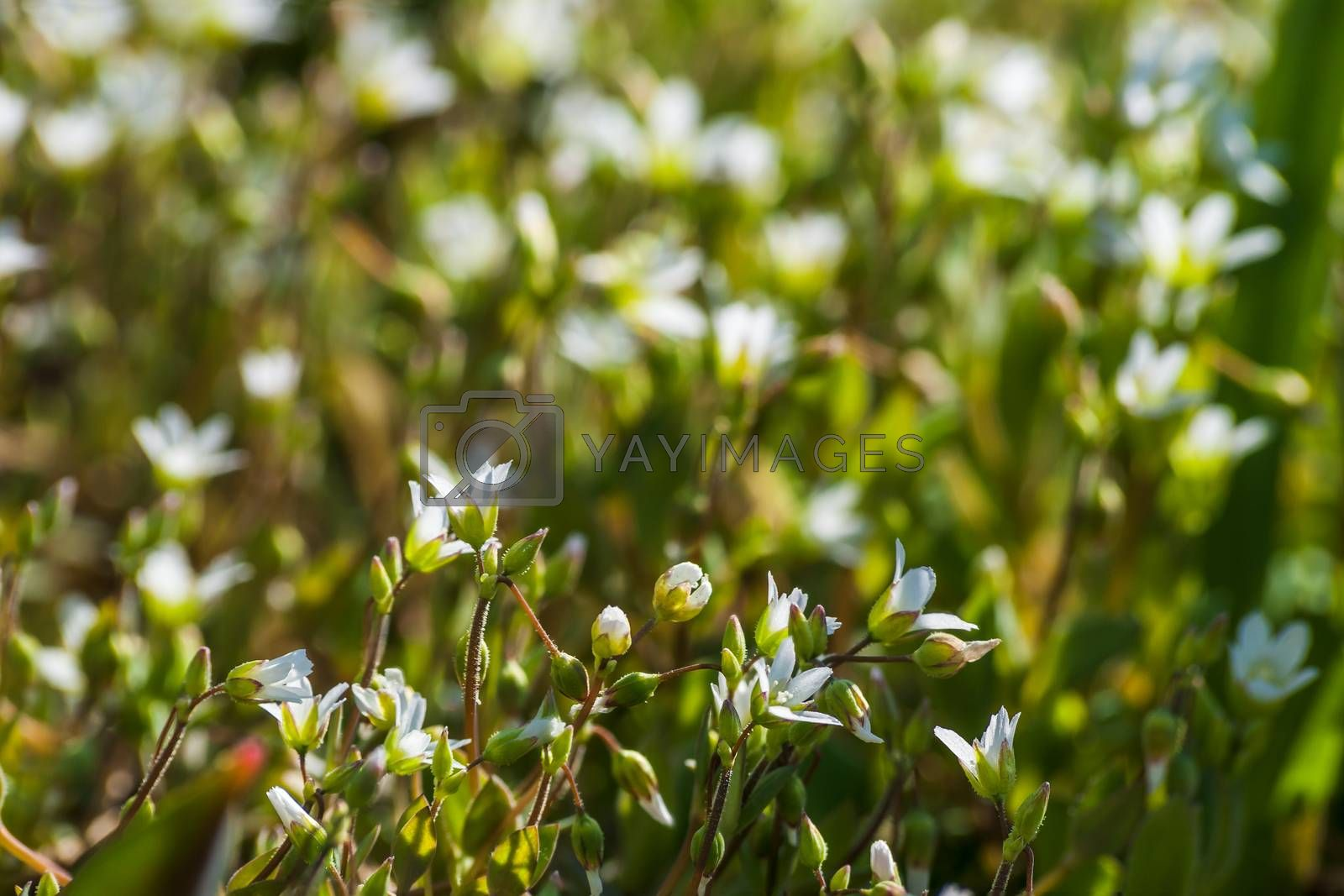 Beautiful white flowers on the glade, selective focus