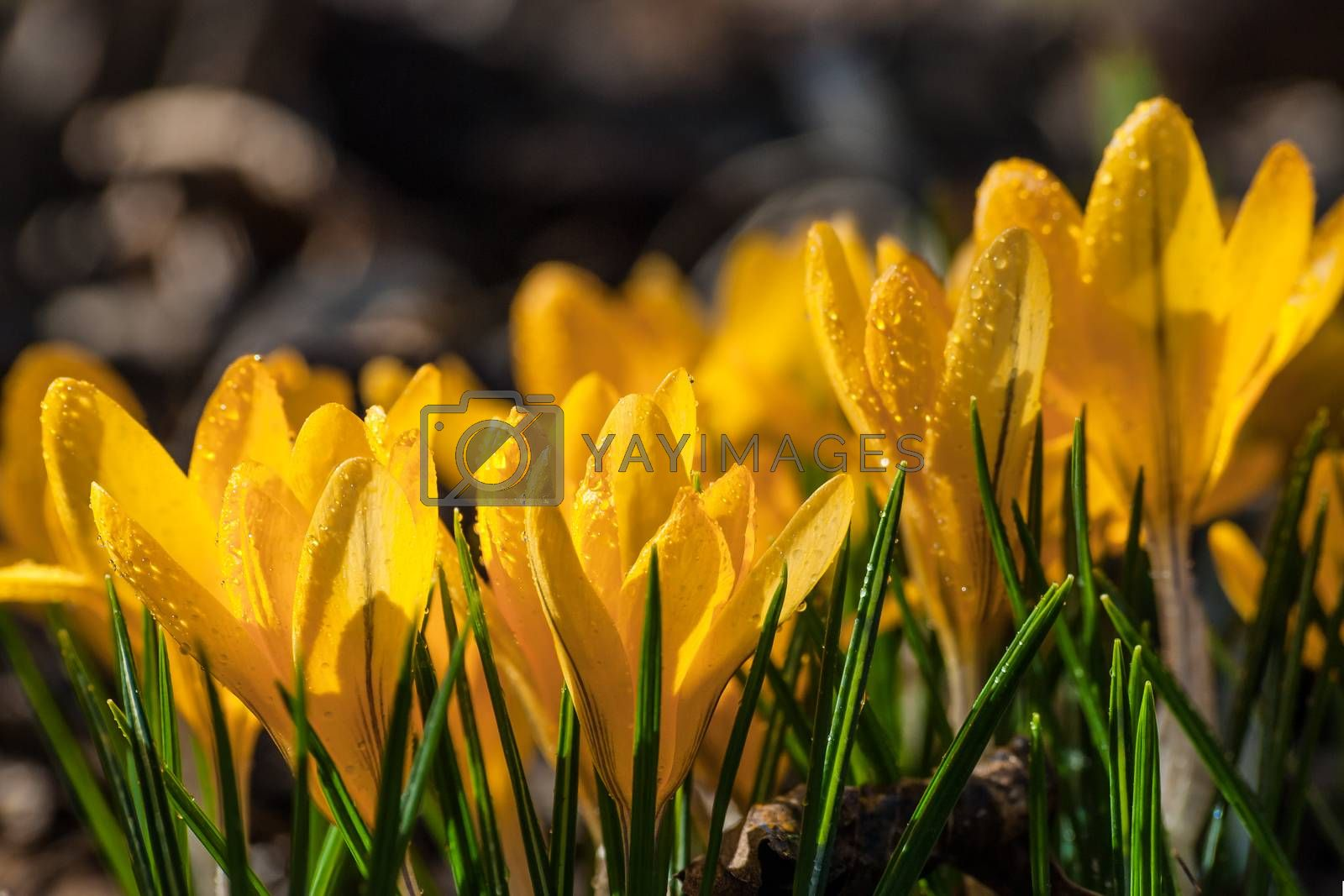 Beautiful yellow crocus flowers on the glade