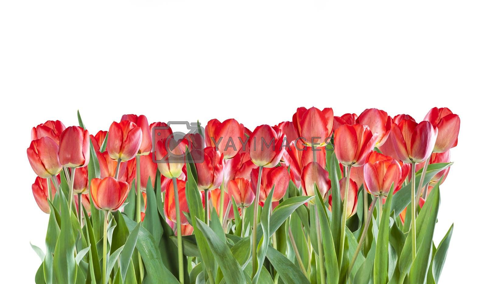 Beautiful red tulip flowers isolated on white background