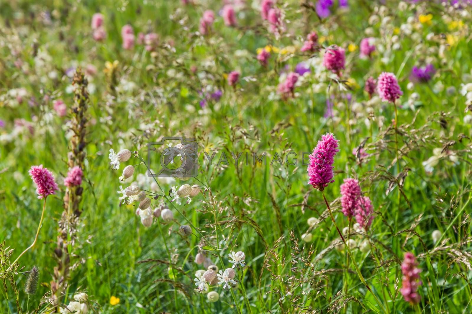 Flower meadow in mountain, selective focus