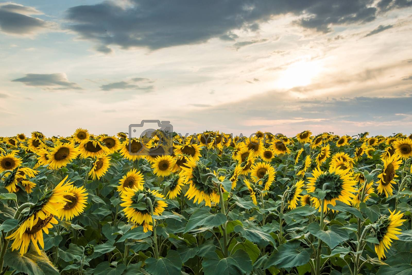 Royalty free image of Sunflower field by firewings