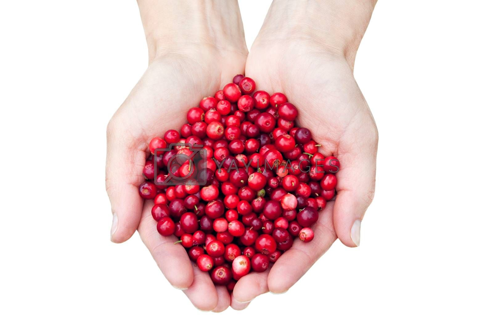Womans hands holding fresh red lingonberries isolated on white background