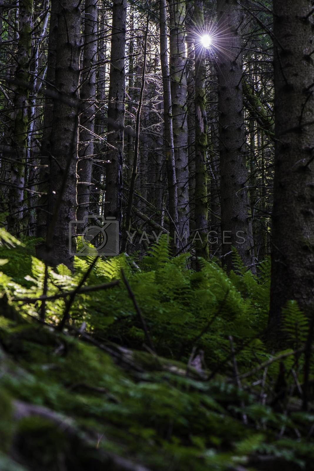 The sun between the spruce threes in the forest.