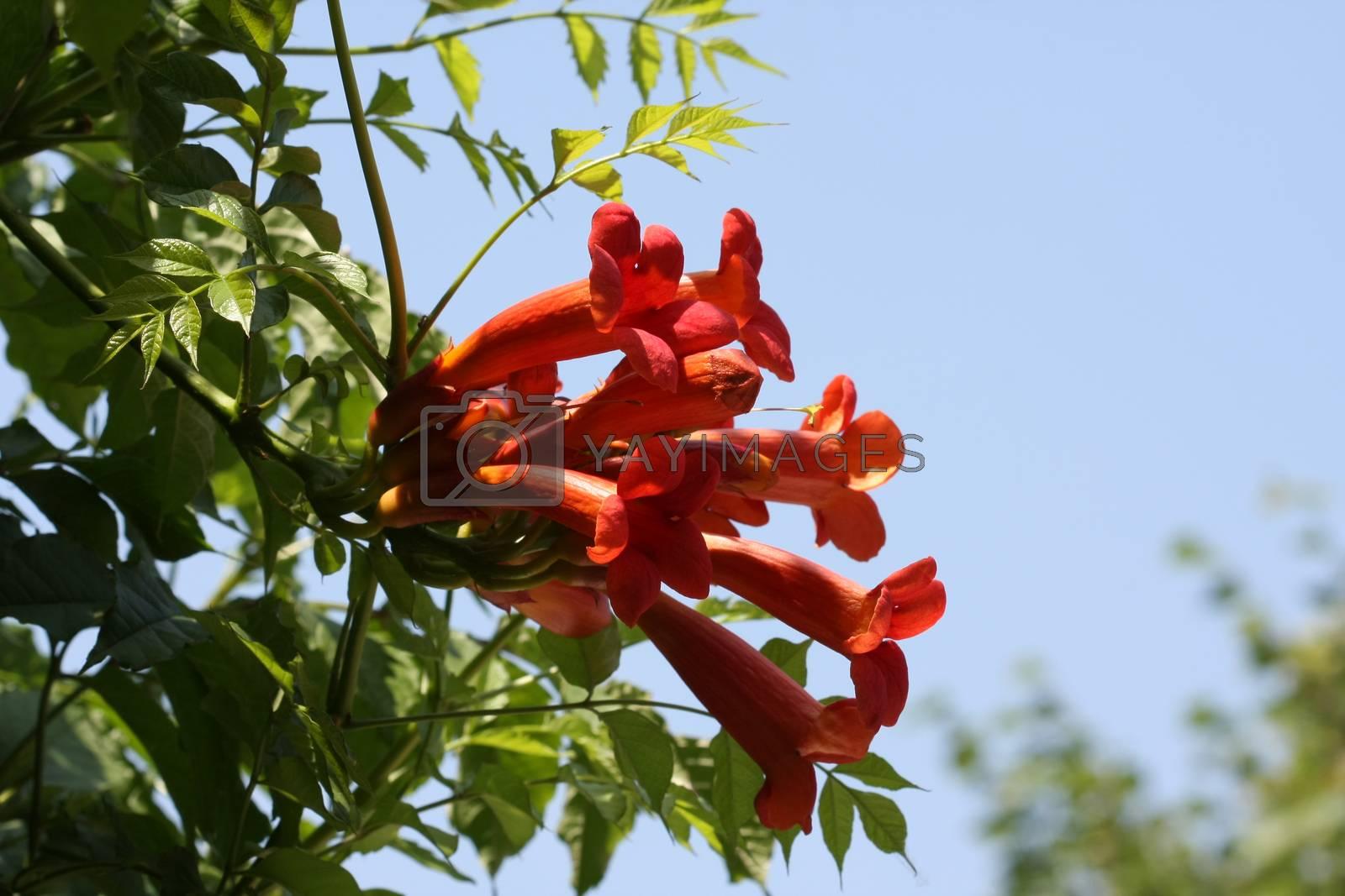 Close up of Tecoma radicans- kampsis flower