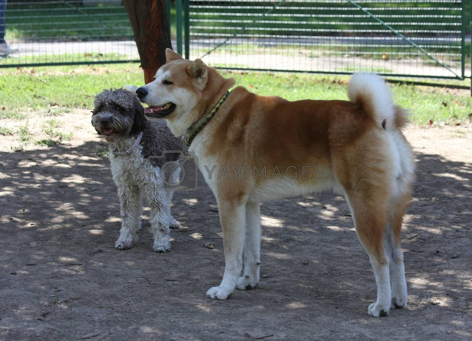 Lagotto Romagnolo and Akita Inu posing in dog park