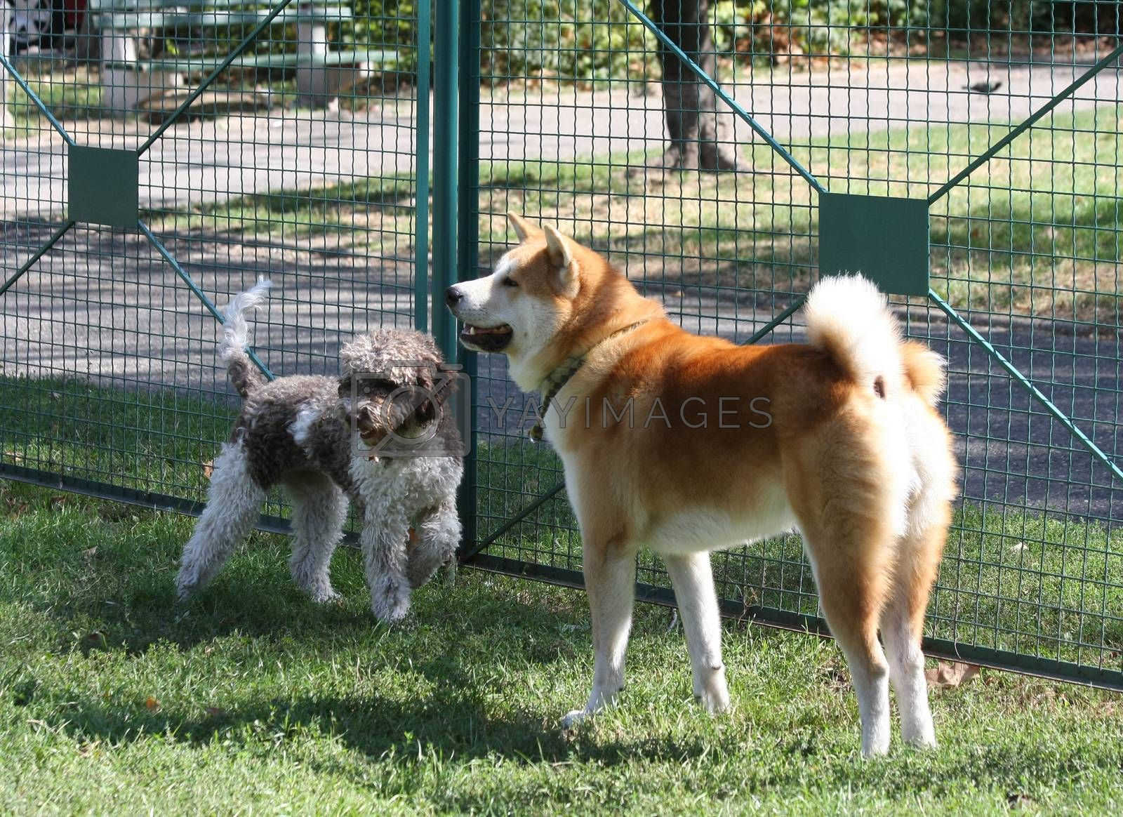 Lagotto Romagnolo and Akita Inu playing  in dog park