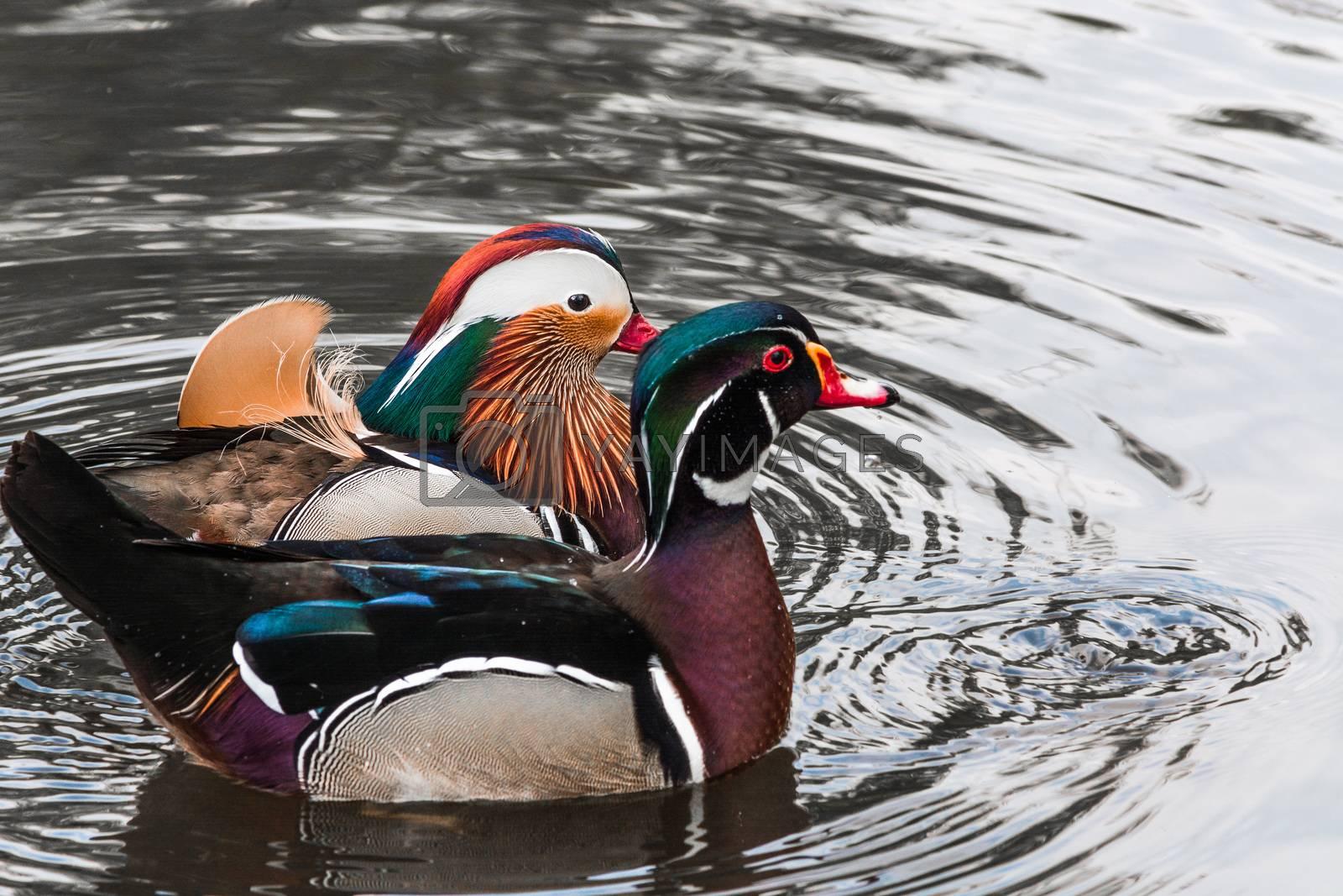 Closeup Mandarin duck (Aix galericulata) swimming in a pond.