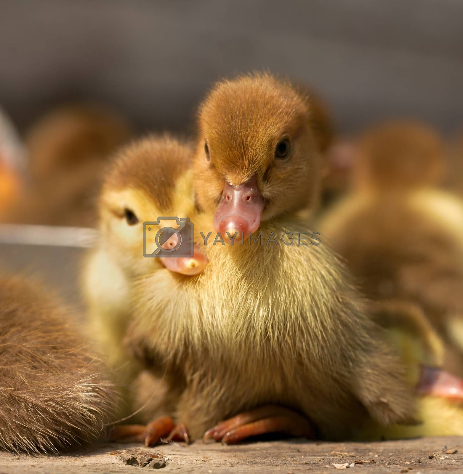 musk duck ducklings closeup on a poultry yard