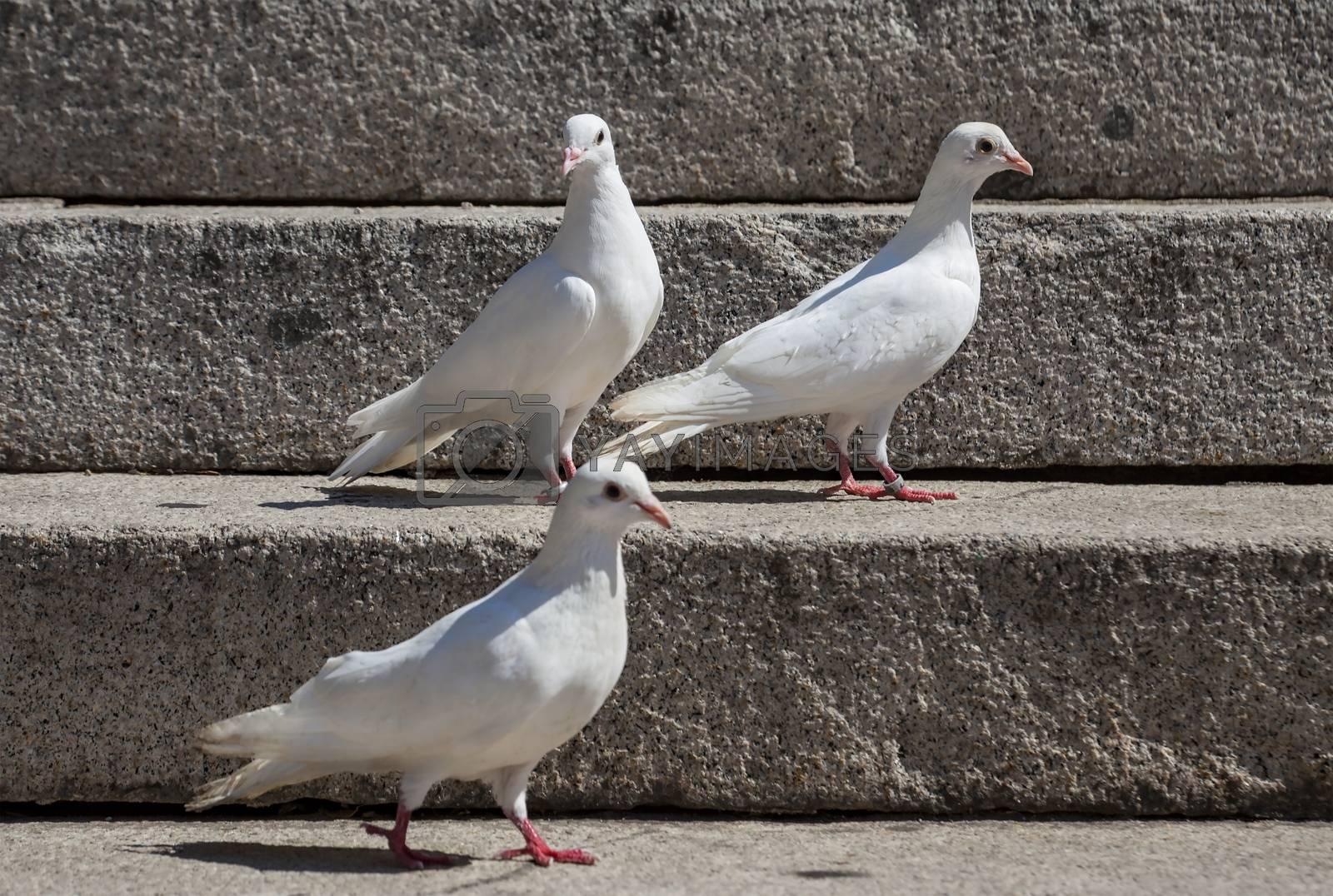 Three white pegeons on a stone granite stairs.