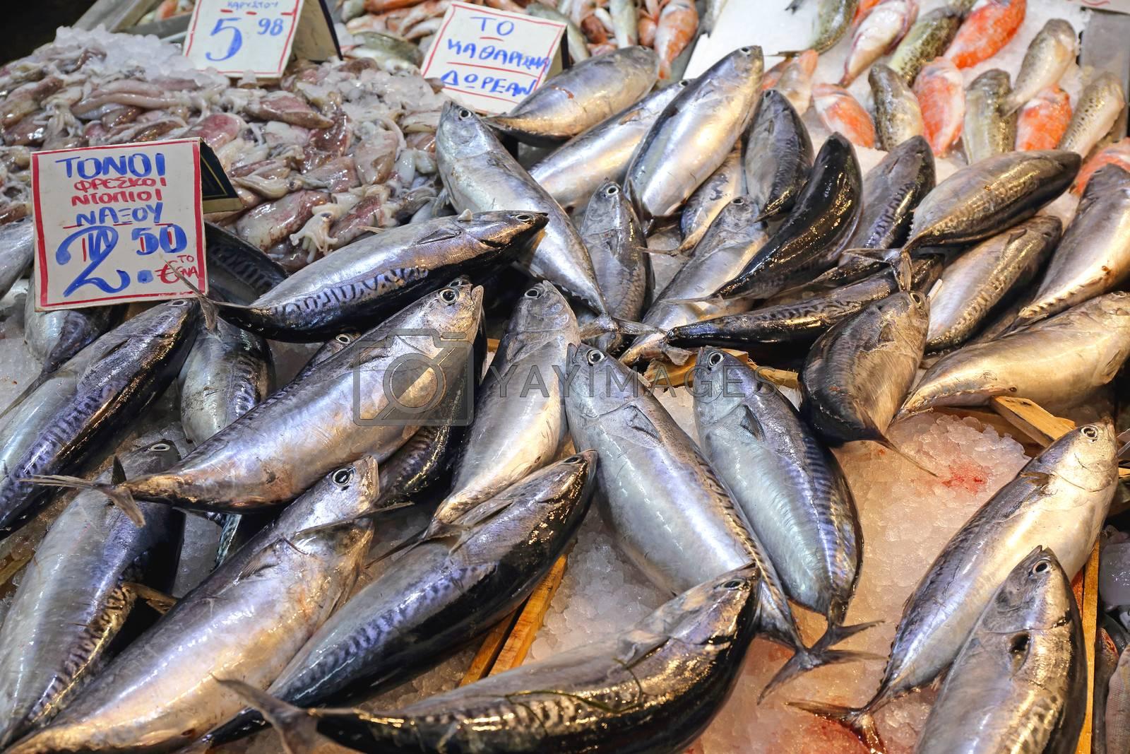 Small Tuna Fish Atlatic Bonito Sarda variety
