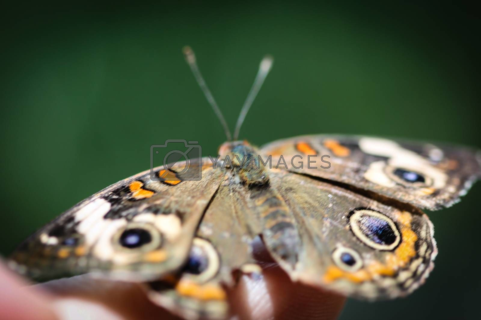 A colorful Common Buckeye Junonia Coenia butterfly.
