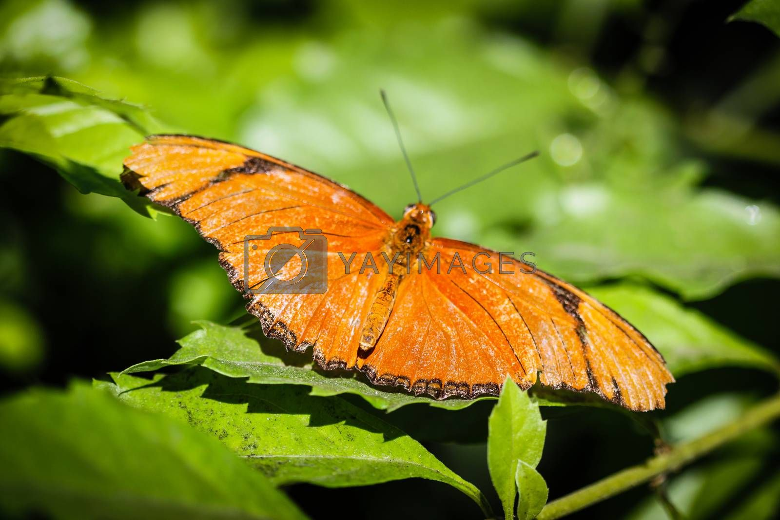 A colorful Julia Heliconian Dryas Julia butterfly.