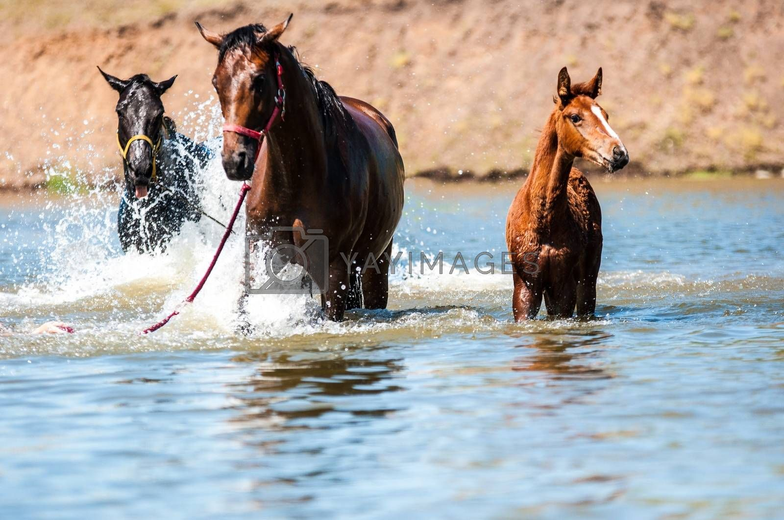 Horses in water on a hot summer day