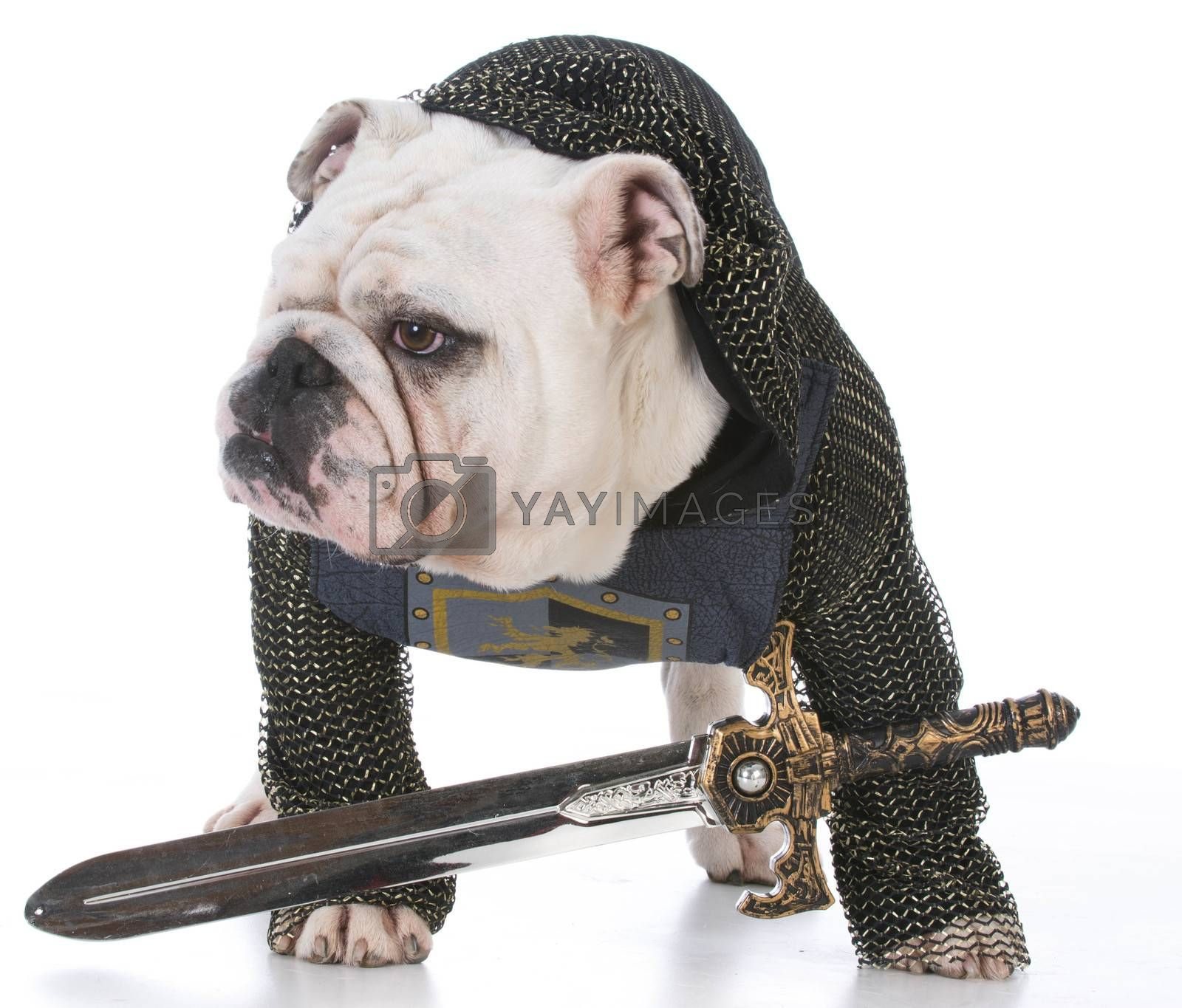 bulldog dressed up like a knight on white background