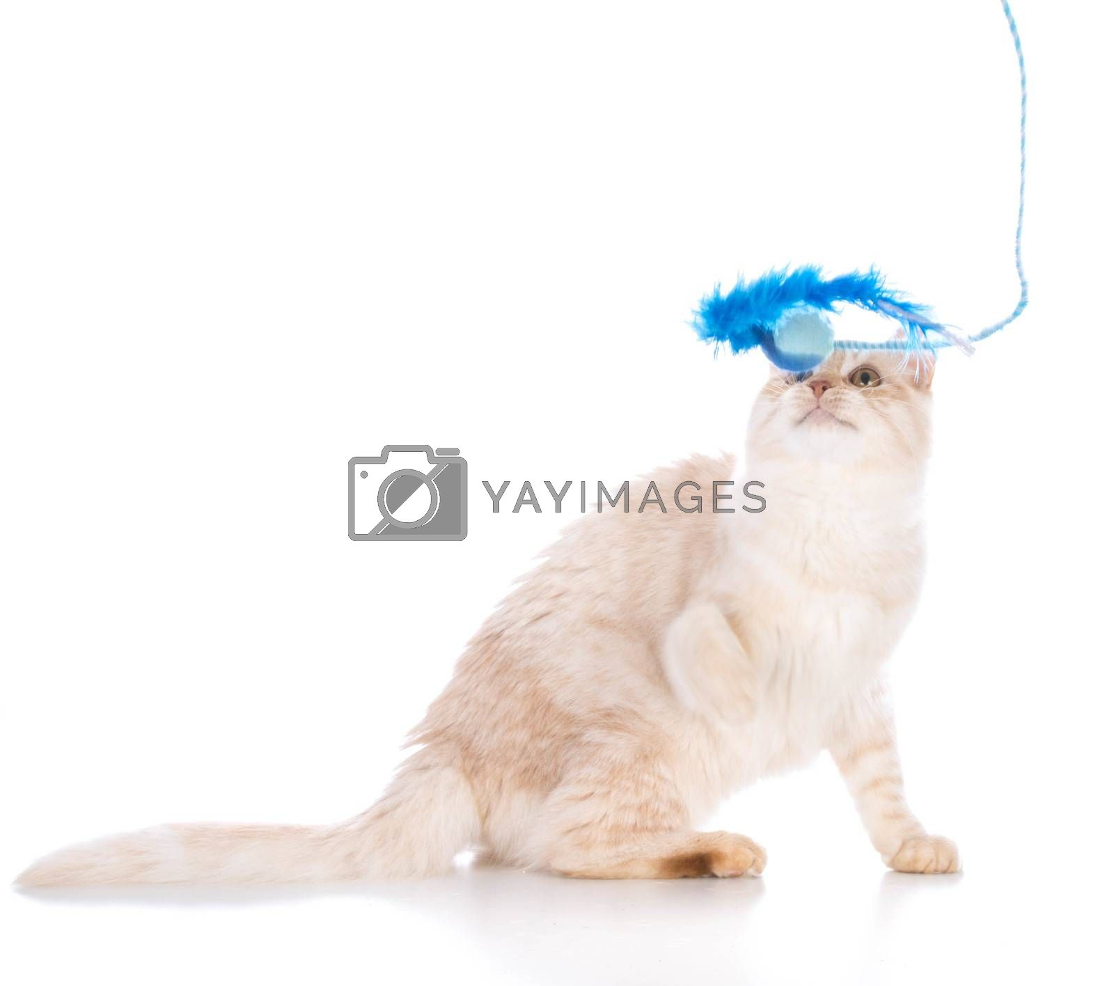 kitten playing with toy isolated on white background